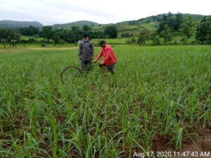 Inspirational organic farmer grows millet
