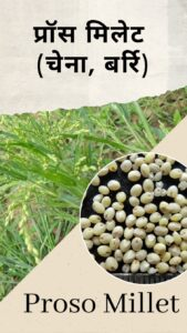 Millets in Hindi